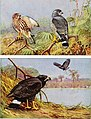 Articles about birds from National geographic magazine ((19-?)-(193-?)) (20773661606).jpg