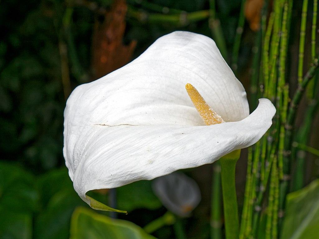 File Arum Lily Calla Lily Flower At Boreham Essex