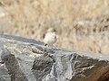 Asian Desert Warbler (Sylvia nana) (46511327522).jpg