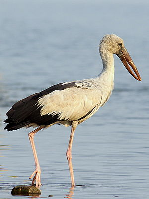 Asian openbill - Adult showing characteristic gap between mandibles