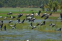 Asian Openbill Storks Flying Away.jpg