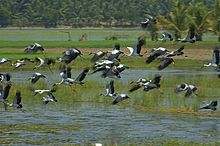 Asian Openbill Storks Flying Away.jpg