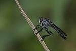 Asilidae-Kadavoor-2016-04-09-002.jpg