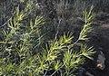 Asparagus laricinus, lote en kladodes, Spitskop, a.jpg