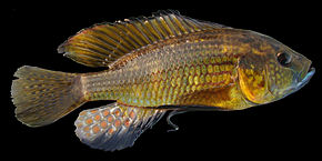 Description de l'image Astatoreochromis-straeleni-Malagarazi-GB.jpg.