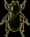 Ataenius horticola Jacobson.png