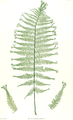 Athyrium filix-femina Moore33.png