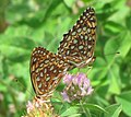 Atlantis Fritillaries, mating.jpg
