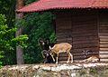 Aufmerksame Mufflon Wildpark Alte Fasanerie Klein-Auheim Juni 2012.JPG