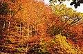 Autumn colours in Glyn-Hafren Wood - geograph.org.uk - 574041.jpg