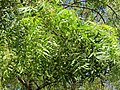 Azadirachta indica - Neem at Tenkasi 2014 (12).jpg