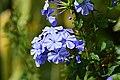 Azulina (Plumbago auriculata) - Flickr - Alejandro Bayer (1).jpg