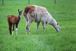 Baby Lama with mother.JPG