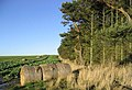 Bales in a turnip field beside a pine shelter belt - geograph.org.uk - 285735.jpg