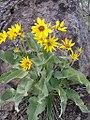 Balsamorhiza sagittata plant-5-25-04.jpg