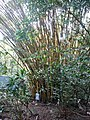 Bamboo in the Manuel Antonio Park in Costa Rica.jpg