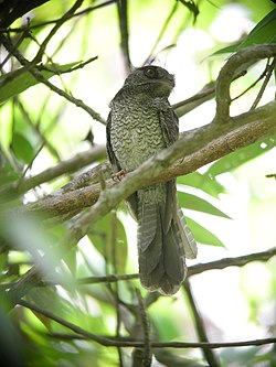 Barred Owlet-Nightjar.jpg