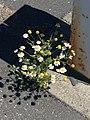 Beauty in asphalt, a weed grows in a post office parking lot.jpg