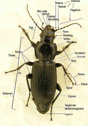 anatomie insecten wikipedia