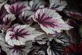 Begonia (23).jpg