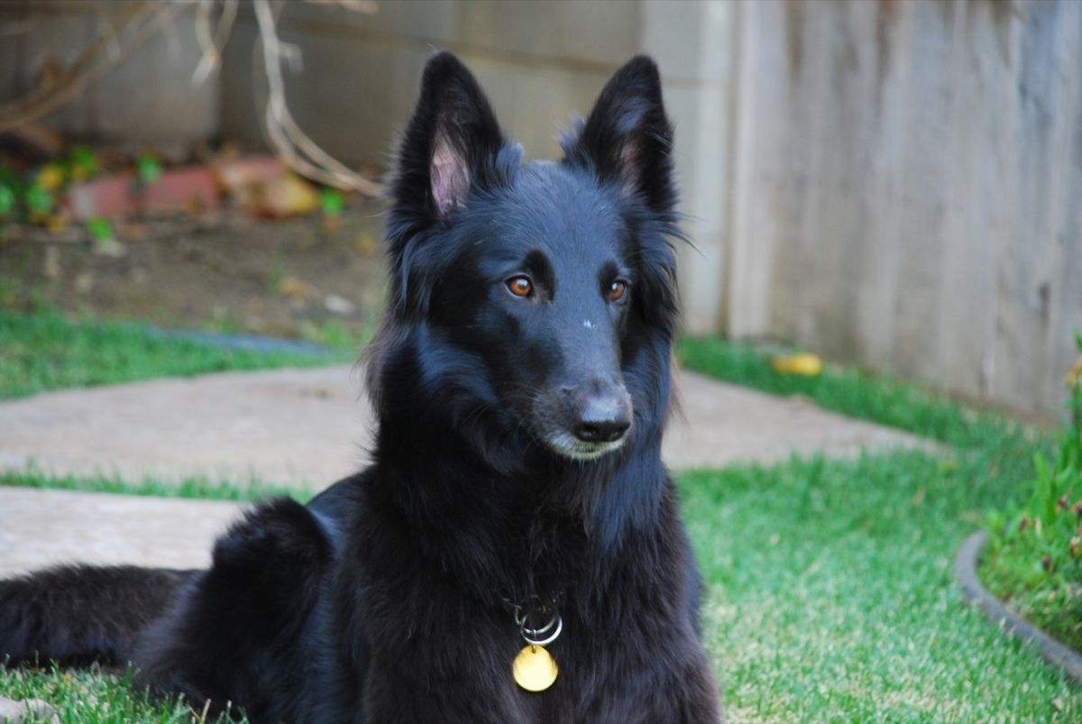 Belgian Sheepdog - Wiktionary