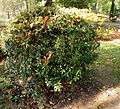 Berberis gagnepainii (2).JPG