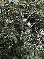 Berchemia discolor02.jpg