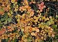 Betula-nana-autumn.JPG
