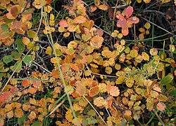 Betula-nana-autumn