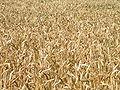 Bildfüllendes Weizenfeld.jpg