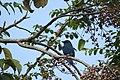 Bird Verditer flycatcher 01.jpg