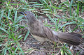 Bird in grass Gambia.jpg