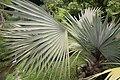 Bismarckia nobilis 29zz.jpg
