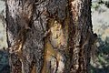 Bison rub on Pinus contorta trunk, Grand Teton NP.jpg