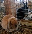 Black&tan rabbits (121694571).jpg