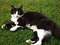 Black-and-white-cat.jpg