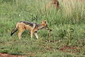 Black-backed jackal, Canis mesomelas, a young one playing with a root as a puppy plays with a ball at Rietvlei Nature Reserve, Gauteng, South Africa (16037524025).jpg