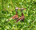Black-bellied Whistling-Ducks (14807607426).jpg
