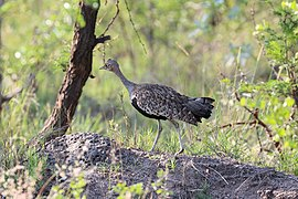 Black-bellied bustard in Kruger National Park 01.jpg