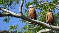Black-collared Hawks (Busarellus nigricollis) couple ... (48426824257).jpg
