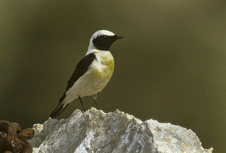 Catalogue d'oiseaux - Image: Black eared Wheatear Cres Croatia 0003 (1) (18786212513)