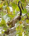 Black-tailed Marmoset (Callithrix melanura) (30960223814).jpg