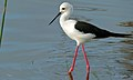 Black-winged Stilt (Himantopus himantopus) (6002396769).jpg