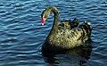 Black Swan.(Cygnus atratus) (14158502535).jpg