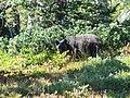 Black bear juvenile. Sept 2008 (711a777963dc4a9f9b98d2d111d87fdf).JPG
