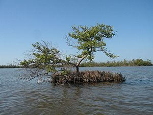 Ten Thousand Islands National Wildlife Refuge - Image: Black mangrove everglades natl park