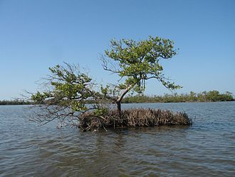 Avicennia germinans - A black mangrove tree growing in shallow water in Everglades National Park