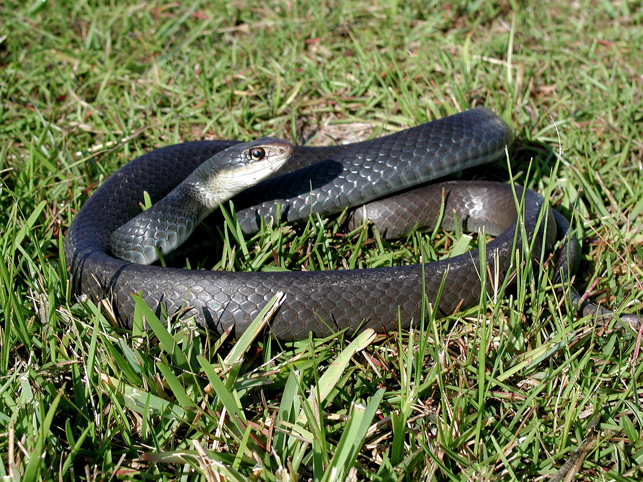 Southern Black Racer Snake In Grass One Of Floridas Non Venomous Snakes