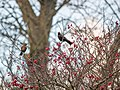 Blackbirds in a tree (11162015665).jpg