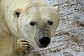 Blakava the polar bear (6355735701).jpg